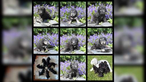 Bedlington terrier - Bedlington Terrier (009)