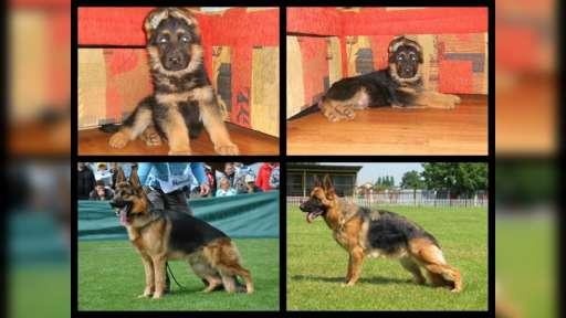 puppies of german shepherd - German Shepherd Dog (166)