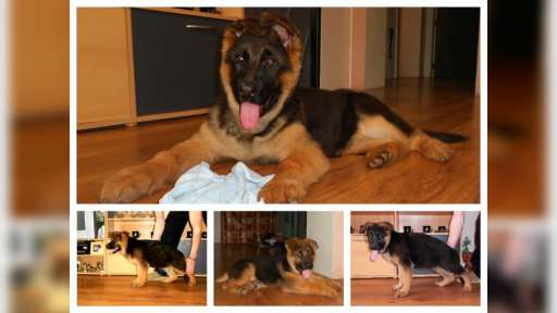Puppies german shepherd for sale - German Shepherd Dog (166)