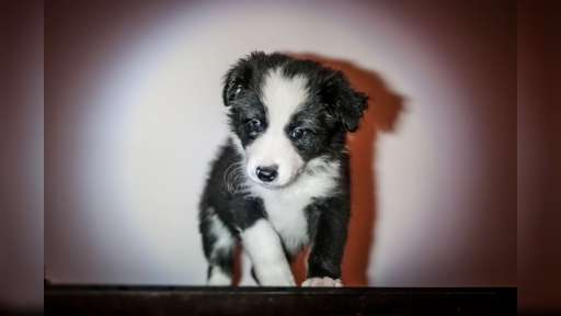 Border collie - Border Collie (297)