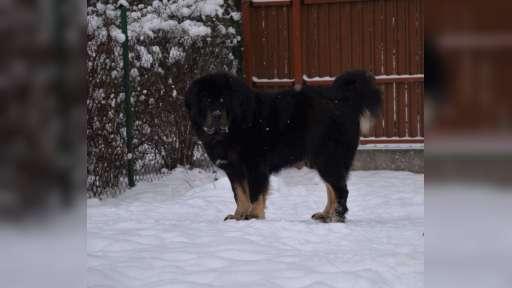 Mastif Tybetański  - Mastiff (264)
