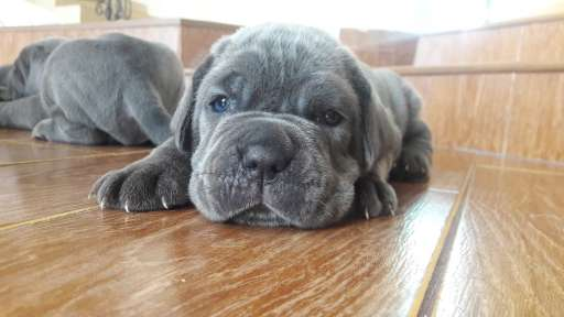 Puppies Mastino Napolitano from Elite Parents - Neapolitan Mastiff (197)
