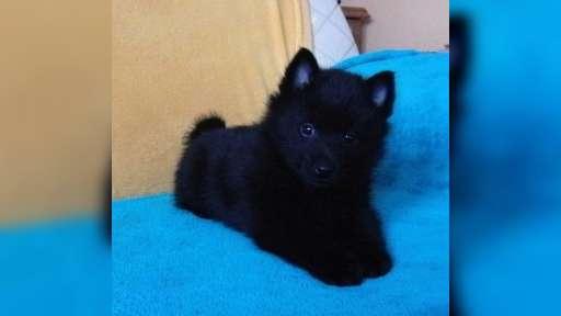 Schipperke puppies - male - Schipperke (083)