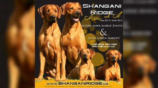 Rhodesian Ridgeback breeders  Shangani Ridge take reservations on litter A - Rhodesian Ridgeback (146)