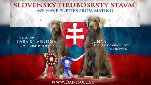 Slovakian rough haired pointer - Slovakian Rough-Haired Pointing Dog (320)