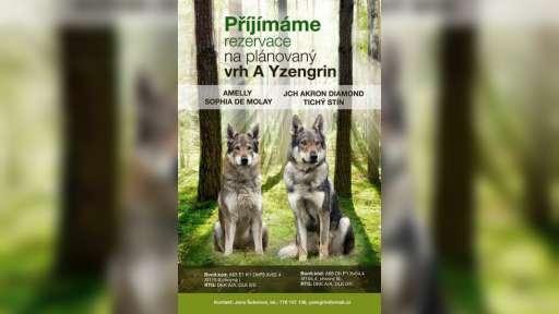 Czechoslovakian wolfdog puppies  - Czechoslovakian Wolfdog (332)