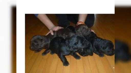Labrador šteniatka - Labrador Retriever (122)