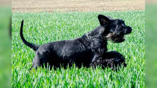 Puppies - Giant Schnauzer - Giant Schnauzer (181)
