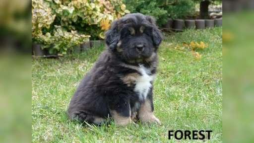 TIBETSKÁ DOGA -DO-KHYI -TIBETAN MASTIFF - Tibetan Mastiff (230)