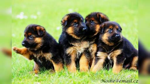 German Shepherd puppies  - German Shepherd Dog (166)
