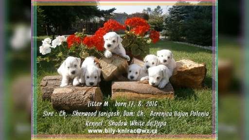 White miniature schnauzer. Lovely Puppies - Schnauzer (182)