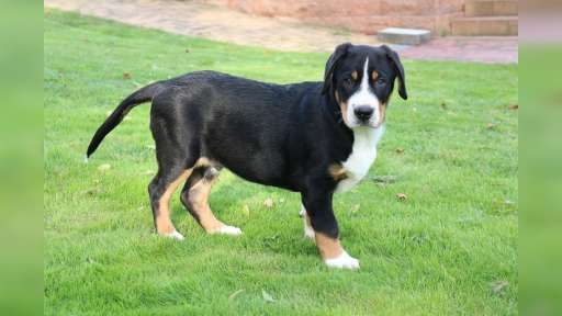great swiss mountain dog - Great Swiss Mountain Dog (058)