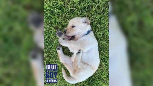 Available Registered Golden Retriever Puppies - Golden Retriever (111)