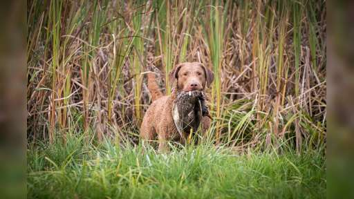 Chesapeake bay retriver whit FCI pedigre - Chesapeake Bay Retriever (263)