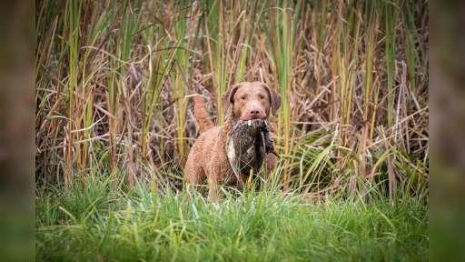 Chesapeake bay retriver whit FCI pedigre - Chesapeake Bay Retriever (263)