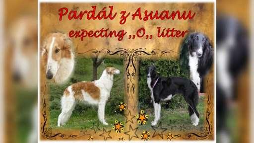Borzoi puppies - Borzoi (Russian Hunting Sighthound) (193)