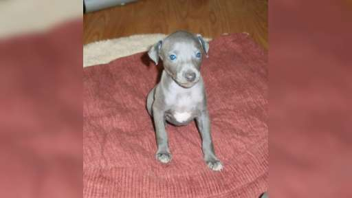 Italian Greyhound, puppy, male, grey color, with pedigree FCI - Italian Greyhound (200)