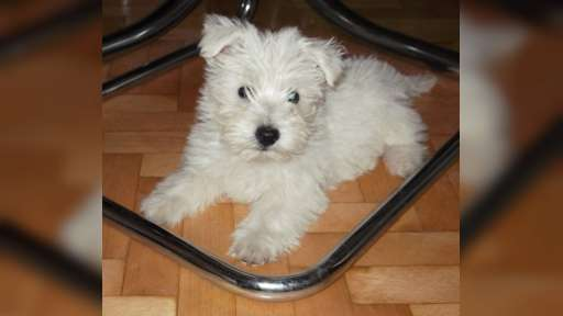 West Highland white terrier - West Highland White Terrier (085)
