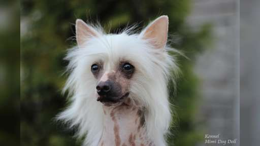 "Kennel FCI ""Mimi Dog Doll"" - Kennel Chinese Crested Dog"