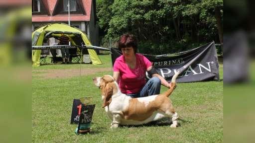 Basset hound Queen´s Hermelin - krizova