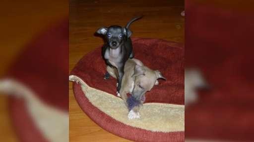 Italian gryeyhoud - 2 puppy, male, with pedigree FCI - Italian Greyhound (200)